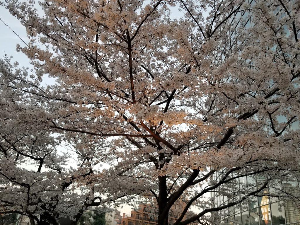 Cerezos en flor, Mori Garden, Tokio, Japón