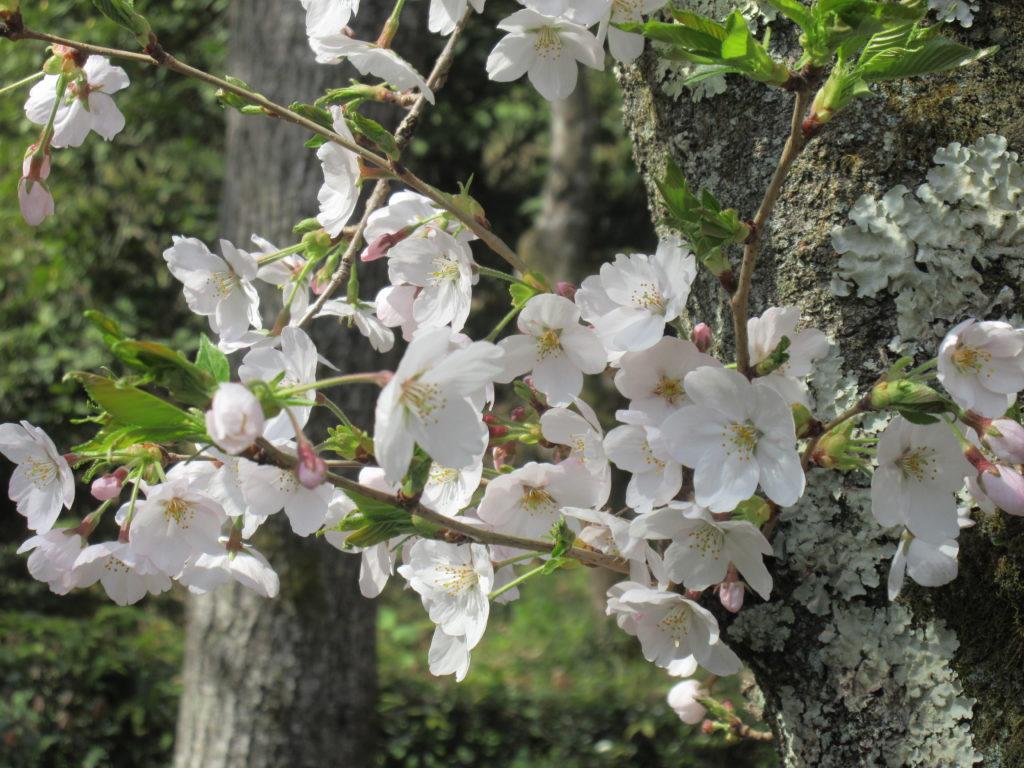Crónicas de Viajes, Cerezos, Kyoto, Japón