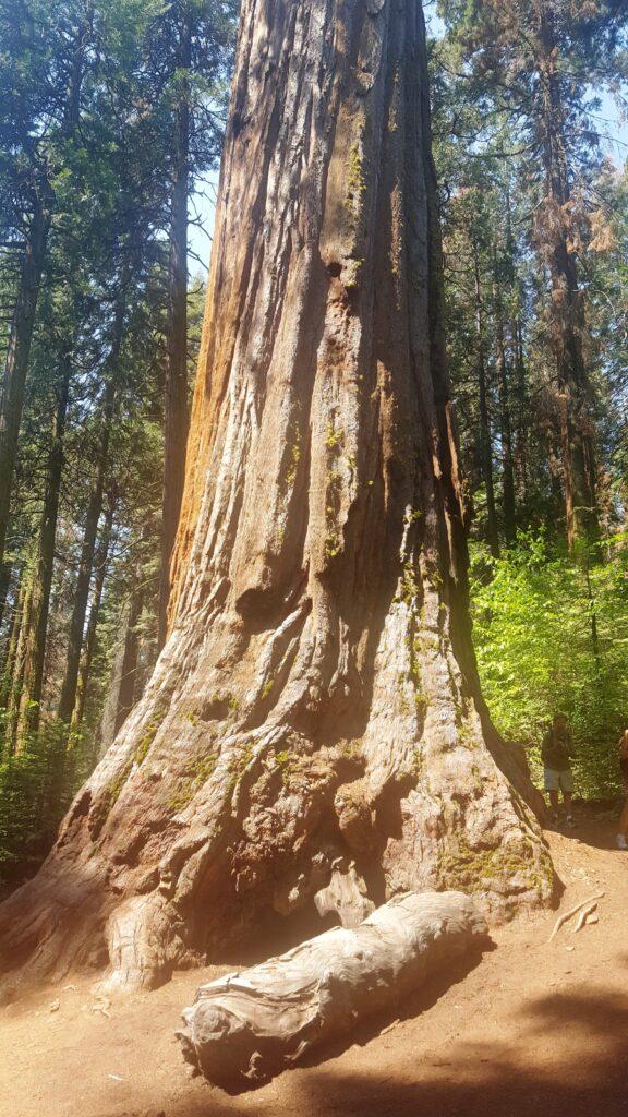 Muir Woods, Sequoias Gigantes, California