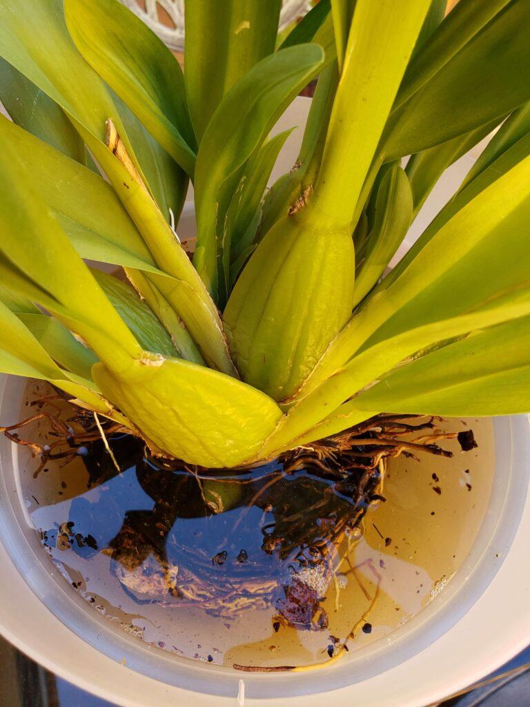 Cuidados de la orquídea oncidium