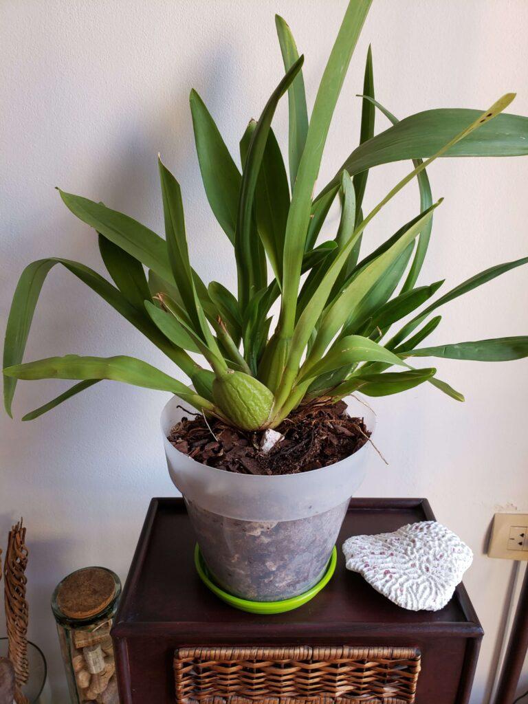 Aplicación del sustrato. Cuidados de la orquídea oncidium