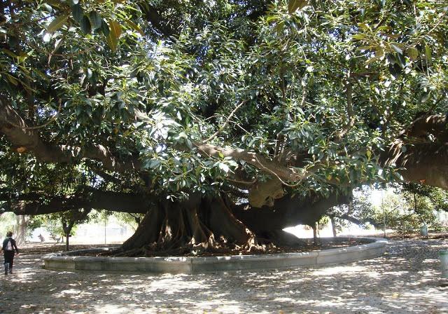El árbol más antiguo de Buenos Aires en La Recoleta
