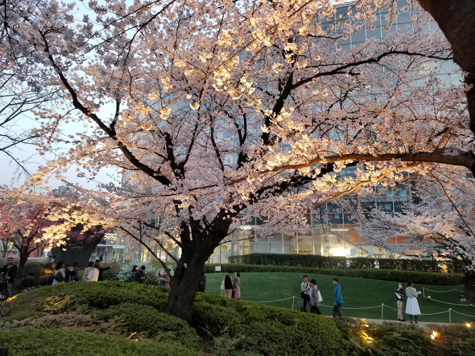 Cerezos en flor en los jardines de Roppongi Hills